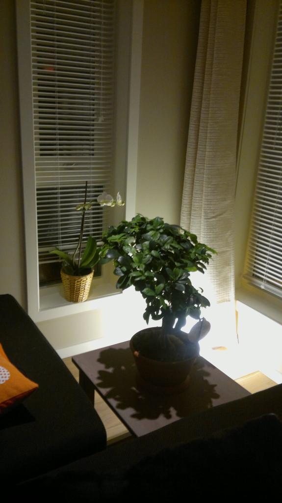 Bonsai-tre på hjørnebord i stuen :-)